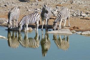Zebras_spiegeln_trinken
